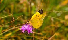 7K8A7571 (rpealit) Tags: scenery wildlife nature weldon brook management area orange sulphur butterfly