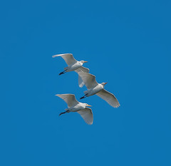 Scilly flying Cattle Egrets