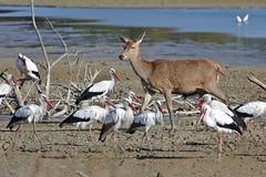 indifference (R.D. Gallardo) Tags: indifference indiferencia animal wild life ciervo vitoria salburua cigueña bird birds canon eos 6d eos6d sigma 150500