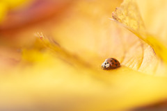 Harlequin ladybird (Richard Bowler) Tags: harlequinladybird ladybird insect animal nature wildlife uk autumn colour yellow red