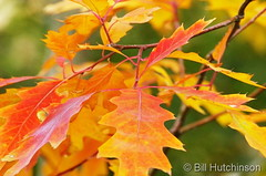 October 22, 2018 - Fall colors oak leaves.  (Bill Hutchinson)