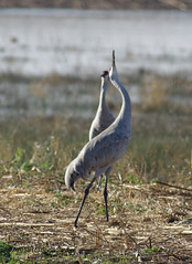 What is going on up there (Scott Severn) Tags: woodbridge sandhill cranes