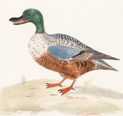 Northern shoveler by Johan Teyler (1648-1709). Original from the Rijks Museum. Digitally enhanced by rawpixel. (Free Public Domain Illustrations by rawpixel) Tags: northernshoveler otherkeywords shoveler alone animal antique art avian beak beautiful bird claw design drawing duck feather feathers fowl illustrated illustration johanteyler lagoon life mallard name nature northern old one ornithology painting plumage plume poultry quack retro single species stand standing vintage waterbird wild wildlife wing