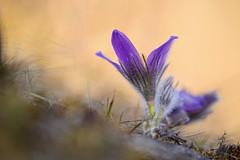 Downhill terrain (♥ ⊱ ╮Juergen ╭ ⊰ ♥) Tags: kuhschelle flower springtime morning macro d800e