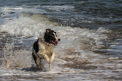 Yay! Beach!! (sharongellyroo) Tags: bordercollie beach holidays wintertononsea norfolk seaside