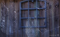 neighbours (dominik.gaida) Tags: cobweb neighbours autumn fall colddays spiders