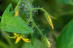 Tomato Dew (Sonarsgs) Tags: flowers tomatoes garden spring rain macro