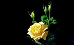 Rose et ses boutons (Diegojack) Tags: vaud suisse vauxsurmorges d500 nikon nikonpassion rose bouton jaune fleurs lumière