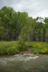 rapids & blooms (EllenJo) Tags: lowertapcorap clarkdaleaz arizona verderiver october1 2018 ellenjo autumn riparian wildflowers viguiera goldeneye yellowwildflower bloom flower yellow golden clarkdalearizona verdevalley river riveraccesspark az autumninaz