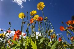 Poppies At Toowoomba (Geoffsnaps) Tags: nikond700 nikon d700 fx nikkor afs 1424mm f28g ed nikonnikkorafs1424mmf28ged gitzogm5541carbonmonopod gitzo gm5541 carbon monopod poppies flowers colours red yellow toowoomba queensland australia beautiful colourful