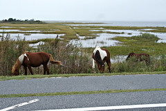 Grazing on the marsh (Throwingbull) Tags: assateague island national seashore beach ocean atlantic park pony ponies horse horses wild wildlife
