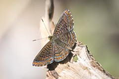 Detritivora barnesi (fabriciodo2) Tags: detritivorabarnesi papillon mariposa butterfly nature macro mexique yucatan quintanaro