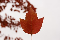 Autumn leaf bright - Credit to https://homegets.com/ (davidstewartgets) Tags: autumn leaf bright closeup color fall flora growth maple outdoors red season tree
