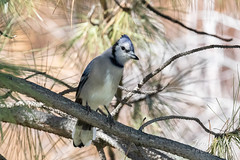 October 20, 2018 - A backyard Blue Jay. (Tony's TakeS)
