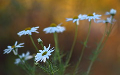 Front Row (jttoivonen) Tags: nature flowers plant white bokeh closeup finland creativecommons vintagelens autumn