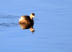 Little Grebe (1) (grahamh1651) Tags: marazion longrockpool birds waterbirds swans mountsbay grebes