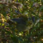 Orange-crowned Warbler thumbnail