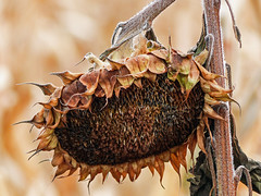 Beauty in old age (annkelliott) Tags: alberta canada sofcalgary kaybenfarms farm garden plant flower sunflower pastitsprime dead seeds hanging bracts stem hairy beautyinoldage bokeh outdoor fall autumn 25october2018 fz200 fz2004 panasonic lumix annkelliott anneelliott ©anneelliott2018 ©allrightsreserved
