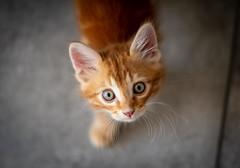 Hello little Vegas (Romain Didier) Tags: chat roux cat orange little animal animaux chaton