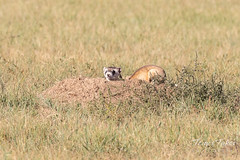 September 22, 2018 - A Black Footed Ferret at the Arsenal. (Tony's Takes)