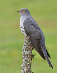 Cuckoo (KHR Images) Tags: cuckoo cuculuscanorus mature male migrant broodparasite wild bird perched surrey nature wildlife nikon d500 kevinrobson khrimages