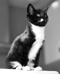 _DSC9906 (Raphistole) Tags: cat chat chaton kitten kitty d7000 nikon nikkor 50mm f14 black white animal baby
