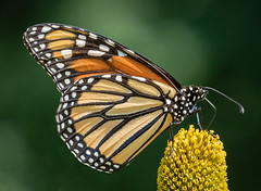 Regal Pose (tresed47) Tags: 2018 201808aug 20180808springtonmacro august butterflies canon7dmkii chestercounty content folder insects monarch pennsylvania peterscamera petersphotos places season springtonmanor summer takenby us