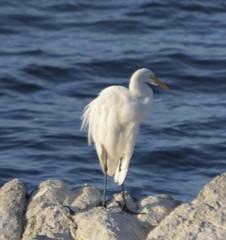egret, cormorant (1) (David McSpadden) Tags: coast pacificgrove rocks coastline montereycounty
