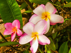 Frangipani - on Explore (Marian Pollock) Tags: hawaii frangipani flowers pink round tropics usa tree pastel