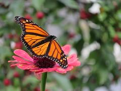 Social Butterfly (Meryl Raddatz) Tags: monarch nature canada