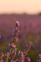 Lavanda (Hachimaki123) Tags: flor flower plant planta lavanda brihuega lavender