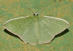 White trimmed green geometrid moth Metallochlora sp Geometrinae Geometridae Airlie Beach rainforest P1430014 (Steve & Alison1) Tags: white trimmed green geometrid moth geometridae airlie beach rainforest metallochlora sp geometrinae