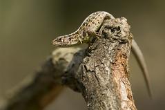 _IGP7886 (andrzejreschke) Tags: insects reptiles plants grass nature butterfly lizard moss flowers beauty beautyofnature