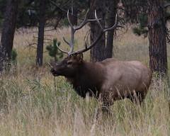 Big Bull Elk (fethers1) Tags: elk bullelk evergreen evergreenlake coloradowildlife