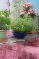 HeliosX01T4266 (kingston Tam) Tags: pottedplants flowers painterlyfeel watercolorpainting colors oldlens bokeh brightcolors fujifilmxt1 helios442f258