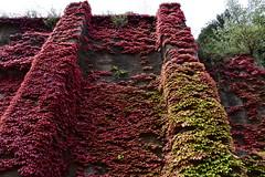 DSC_4290 (griecocathy) Tags: paysage mur plante vigne ciel arbre rouge vert gris blanc