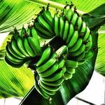 Toronto Ontario - Canada - Allan Gardens Conservatory - Toronto Tropical Garden -  Banana Tree thumbnail