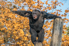 Joler_2018-10-18_2_068_lr_sygn-3 (Joler.Photography) Tags: polska monkey animals nature outdoors tree zoo wroclaw nikon 5300 tamron