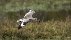 Willet (Bob Gunderson) Tags: birds california heronshead northerncalifornia sanfrancisco sandpipers shorebirds tringasemipalmata willet