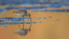 Probing muck (Earl Reinink) Tags: bird wading wader waterfowl sandpiper water reflection gold godwit hudsoniangodwit earl reinink earlreinink fall autums hhuahudaza