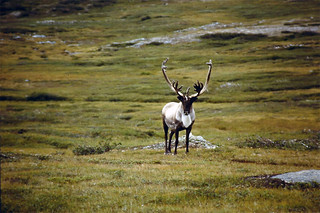 Newfoundland Caribou Hunt, Moose, Bear Hunting 19