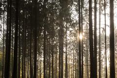 Sonnenaufgang im Wald-9063 (Holger Losekann) Tags: deutschland germany landscape landschaft mist nebel sonnenaufgang sunrise