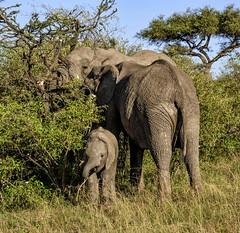 KENYAN SAVANNAH ELEPHANTS: (John C. Bruckman @ Innereye Photography) Tags: kenya maasaimaraconservancy kenyanafricanelephants savannahelephants elephants gentlegiant migration water pachyderms sanctuary eatinghabits elephantfamilies femaleelephants cows calves calf matriarchalhead babysit elephantdevelopment lifelongfriendships stillborncalves maleelephant bull puberty mournthedeath grieving nomadicandsolitarylife coth5