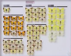 lepidoptera-pieridae-coliadinae-colias-gonepteryx-4382 (nmbeinvertebrata) Tags: ccbync nmbe4382 53123 lepidoptera pieridae coliadinae colias gonepteryx