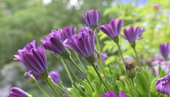 The Subtle Signs of Aging (Robin Shepperson) Tags: summer flowers nature colours purple green garden petals age aging d3400 nikon berlin germany bokeh flower light life