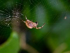 Crowned Orb Weaver, Garden, Upper Cwmbran 25 September 2018 (Cold War Warrior) Tags: spider weaver orb diadem arachnid garden cwmbran