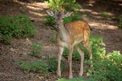 Fallow Deer (Linda Martin Photography) Tags: wildlifepark damadama fallowdeer otterpark wildlife nature tamarvalley rivertamar cornwall uk animal coth naturethroughthelens alittlebeauty specanimal coth5 ngc npc