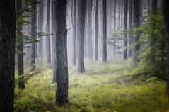 Forest (tom.sk) Tags: forest woodland mist fog mistyforest trees