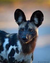 African Wild Dog (leendert3) Tags: leonmolenaar southafrica krugernationalpark wildlife nature africanwilddog mammals ngc npc coth coth5