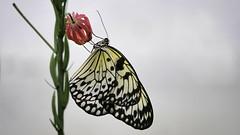 butterfly 12 (norbert.wegner) Tags: